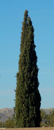 CA_Italian_cypress